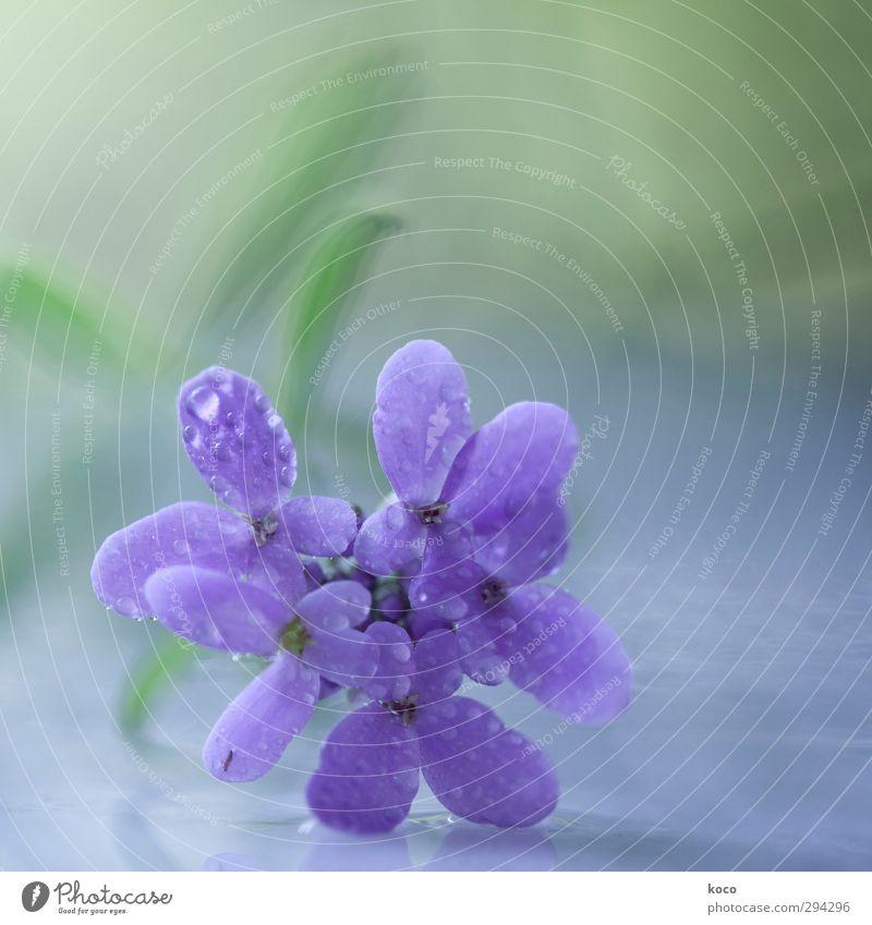 lila frühlingstraum Umwelt Natur Pflanze Wassertropfen Frühling Sommer Blume Blatt Blüte Tropfen Blühend Wachstum ästhetisch einfach Freundlichkeit Fröhlichkeit