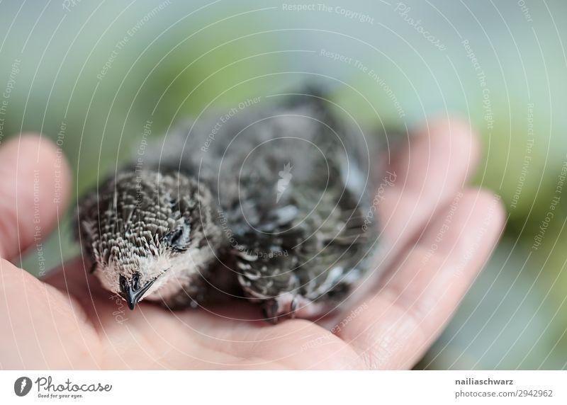 Mauersegler & Mensch Sommer Hand Finger 1 Umwelt Natur Tier Vogel Flügel Jungvogel Tierjunges Erholung schaukeln sitzen natürlich weich Warmherzigkeit Tierliebe