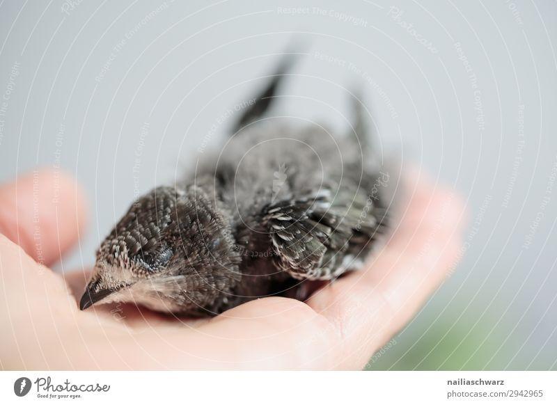 Handaufgezogene junge Mauersegler schnell apus apus apus Uferschwalbe Eurasischer Mauersegler schmiegend Jungvogel jugendlich Verlassen Handheben Hand erhoben