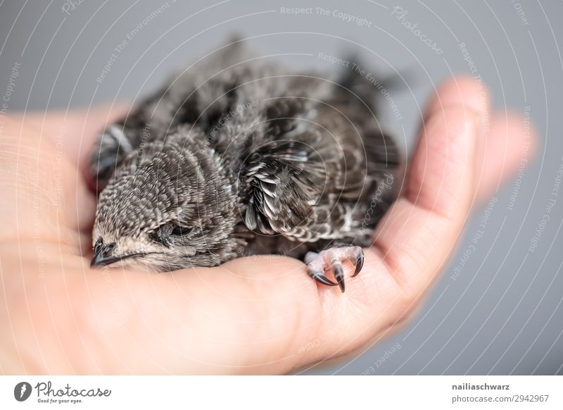 Mauersegler Jungvogel Sommer Hand Tier Tierjunges Liebe klein Vogel Idylle niedlich Hilfsbereitschaft Hoffnung Schutz Sicherheit festhalten Frieden streichen