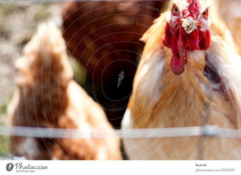 Staring Contest (II) Tier hell Stimmung Vogel dreckig Tiergruppe Flügel Tiergesicht Bauernhof Schnabel Aggression Nutztier Ärger Landleben Hahn gefiedert