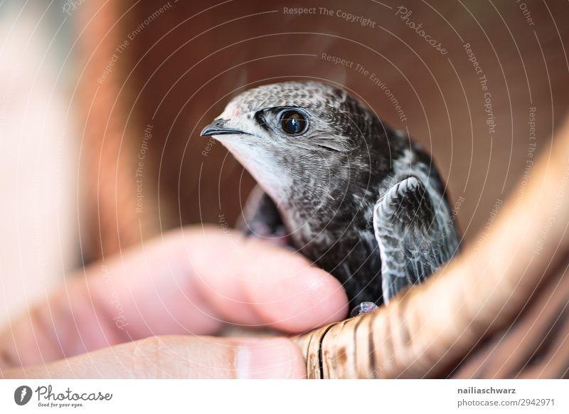 Mauersegler Jungvogel Mensch Sommer Hand Tier Tierjunges Vogel frei Wildtier Lebensfreude Finger Flügel niedlich beobachten Neugier Schutz Sicherheit