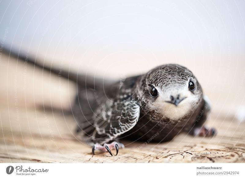Mauersegler Sommer Hand Tier Wildtier Vogel mauersegler Jungvogel 1 Tierjunges Blick natürlich Neugier Tierliebe Mitgefühl Menschlichkeit Hilfsbereitschaft