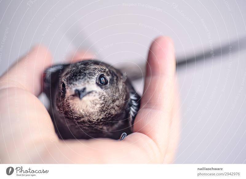Mauersegler Sommer Hand Tier Wildtier Vogel 1 Tierjunges entdecken festhalten Blick klein Neugier niedlich weich Gefühle Vertrauen Sicherheit Schutz