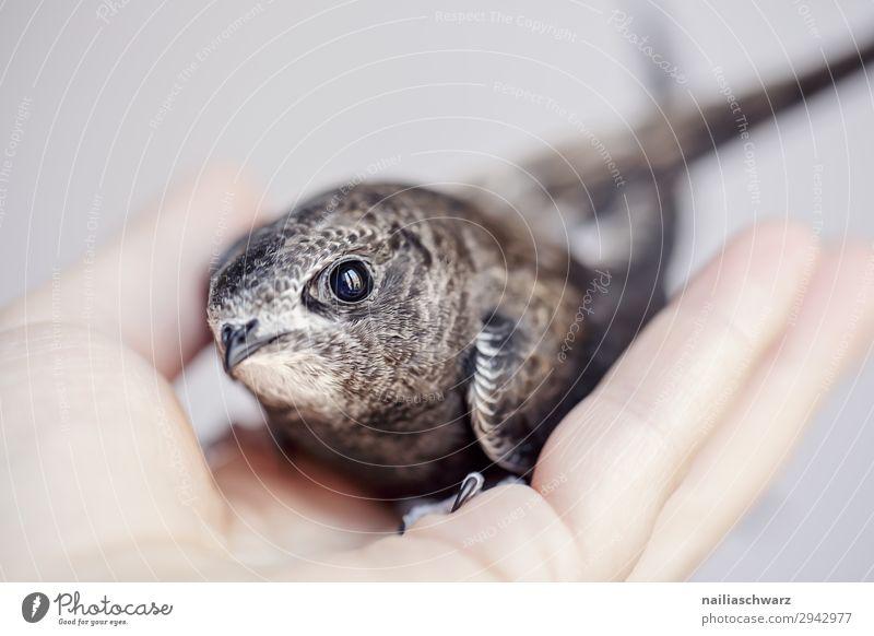 Mauersegler Sommer Hand Tier Vogel Tiergesicht mauersegler 1 Tierjunges beobachten festhalten klein Neugier niedlich schön wild Sicherheit Schutz Geborgenheit