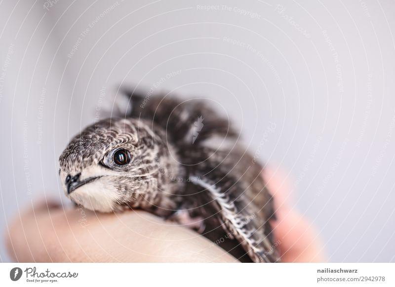 Mauersegler Jungvogel Sommer Hand Tier Wildtier Vogel 1 Tierjunges beobachten entdecken Erholung festhalten Kommunizieren Blick Gesundheit klein natürlich