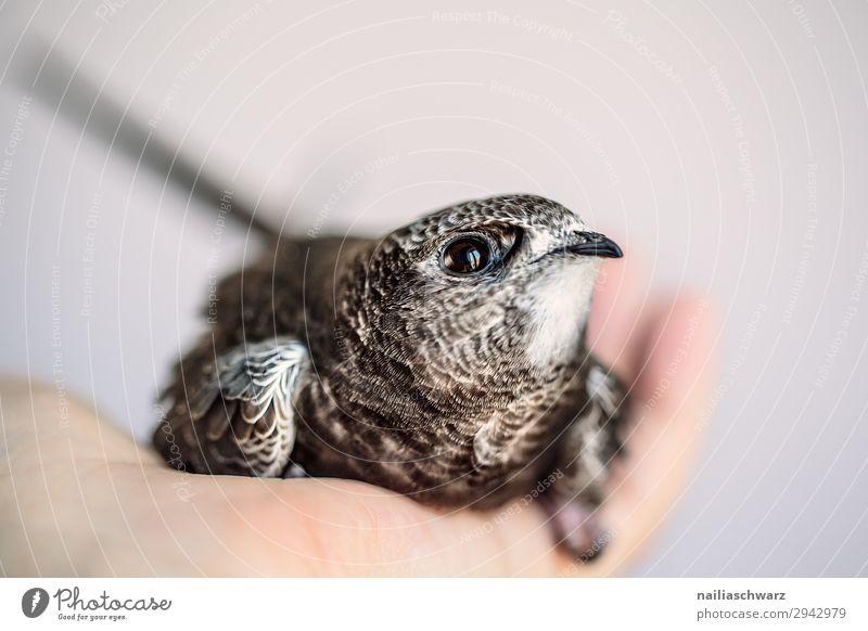 Mauersegler Natur Sommer Hand Tier ruhig Tierjunges Umwelt klein Vogel wild niedlich beobachten Hilfsbereitschaft Neugier Schutz Sicherheit