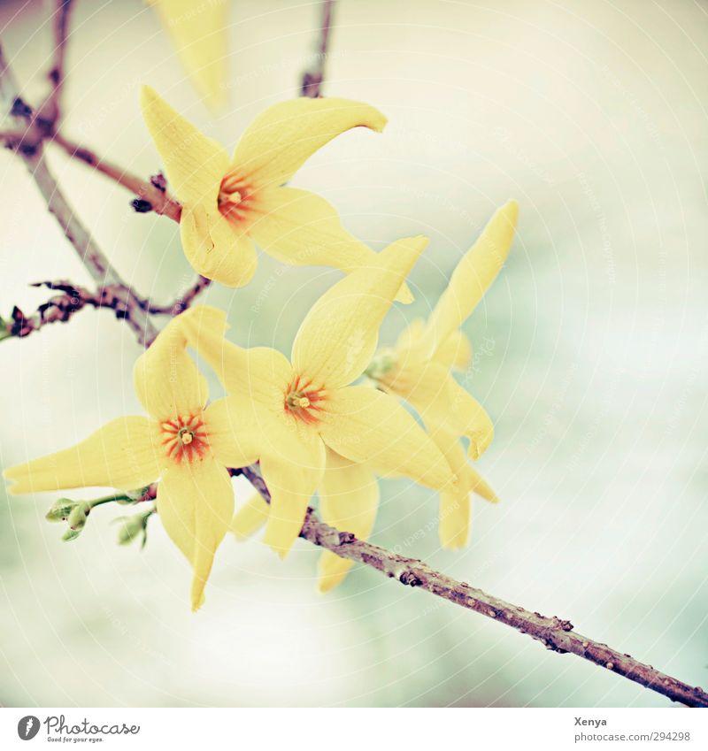 Frühlingserwachen Umwelt Natur Pflanze Sträucher Blüte Forsythienblüte Blühend gelb orange türkis zart Ast Retro-Farben Fröhlichkeit Frühlingsgefühle