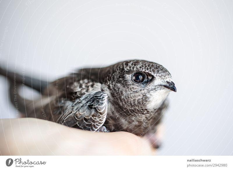 Mauersegler Sommer Hand Tier Wildtier Vogel Tierjunges beobachten festhalten Blick Wachstum Freundlichkeit natürlich Neugier niedlich wild Vorfreude Vertrauen