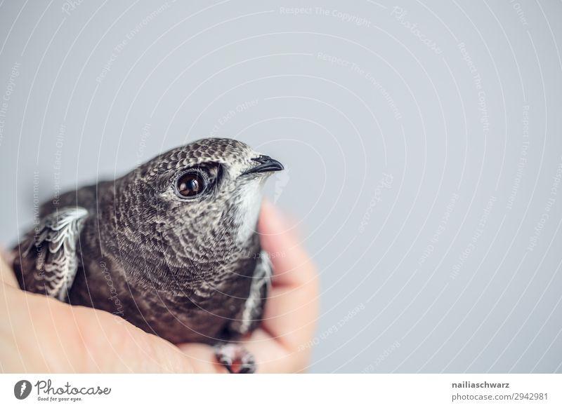 Mauersegler Sommer Hand Tier Tierjunges Leben natürlich Vogel grau liegen Wildtier niedlich Warmherzigkeit beobachten Hilfsbereitschaft Neugier weich