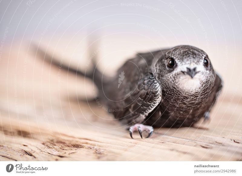 Mauersegler Sommer Tier Wildtier Vogel Tiergesicht Tierjunges beobachten entdecken hocken Blick warten natürlich Neugier niedlich Vertrauen Sicherheit Schutz