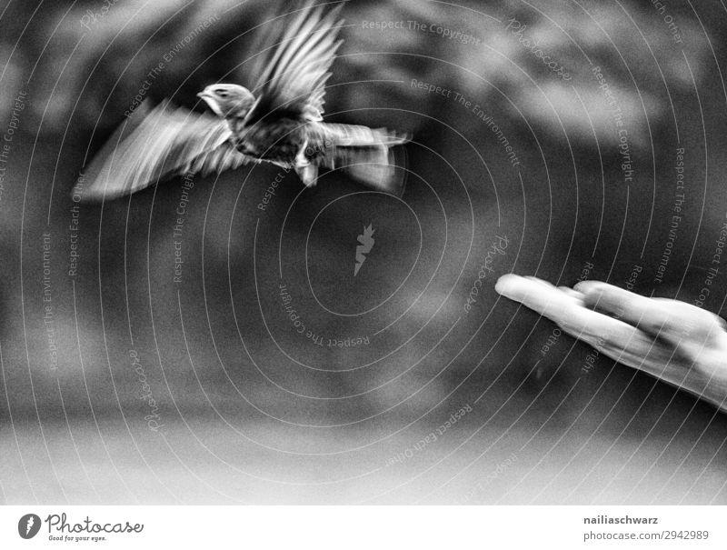 Mauersegler Sommer Mensch Hand Finger Umwelt Natur Frühling Tier Wildtier Vogel 1 Tierjunges Bewegung fliegen einfach frei Gesundheit natürlich Gefühle Glück