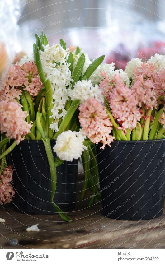 Hyazinthen Frühling Blume Blatt Blüte Duft rosa weiß Blumentopf Eimer verkaufen Wochenmarkt Blumenstrauß Blumenhändler Blühend Frühlingstag Frühlingsblume
