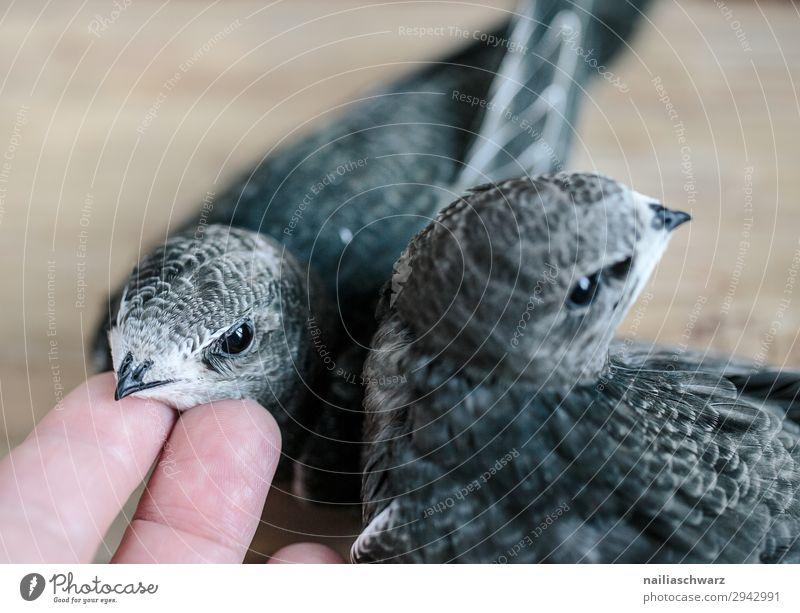 zwei Mauersegler Sommer Hand Tier Tierjunges Umwelt Liebe natürlich Vogel Zusammensein Idylle Fröhlichkeit Tiergruppe Finger niedlich beobachten