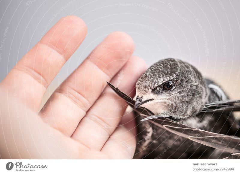 Mauersegler Sommer Hand Finger 1 Mensch Tier Wildtier Vogel Tierjunges festhalten Kommunizieren Freundlichkeit Zusammensein nah niedlich wild Frühlingsgefühle