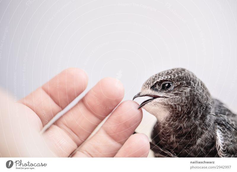Mauersegler Sommer Mensch Hand Finger Tier Wildtier Vogel Flügel Fell Krallen 1 Tierjunges entdecken Kommunizieren natürlich Neugier niedlich positiv schwarz