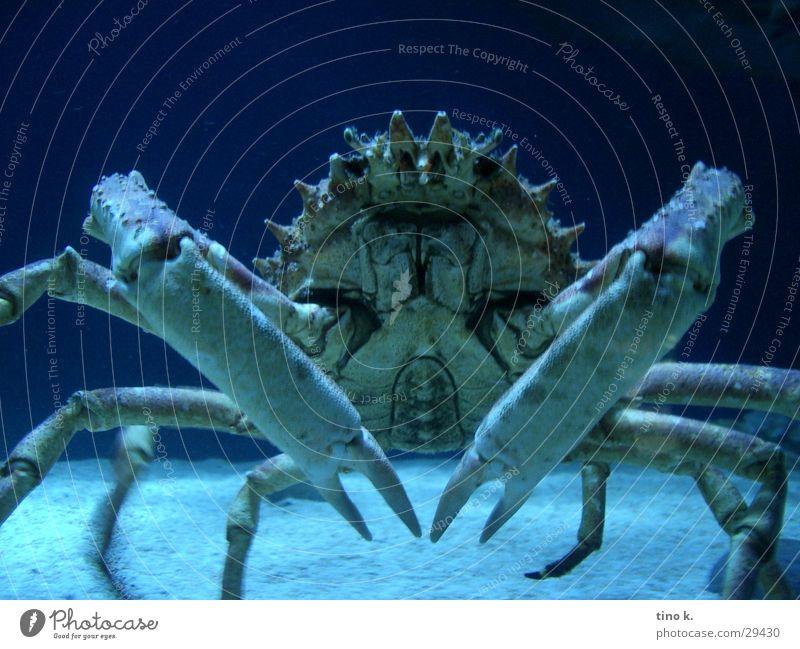 Krabbenshooting Meer gefährlich bedrohlich Symmetrie beeindruckend Unterwasseraufnahme Krabbe Greifer zwicken