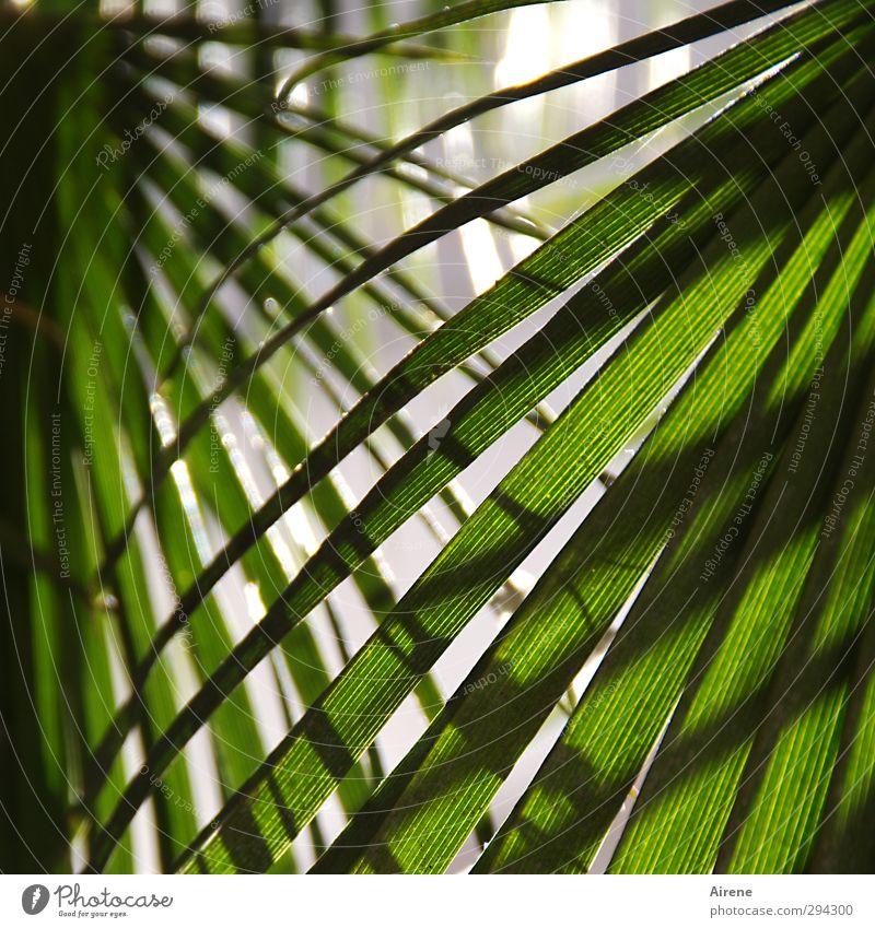 las palmas Ferien & Urlaub & Reisen Sommer Natur Pflanze Baum Blatt Grünpflanze Palme Palmenwedel Fächer netzartig frisch natürlich grün Schutz Geborgenheit