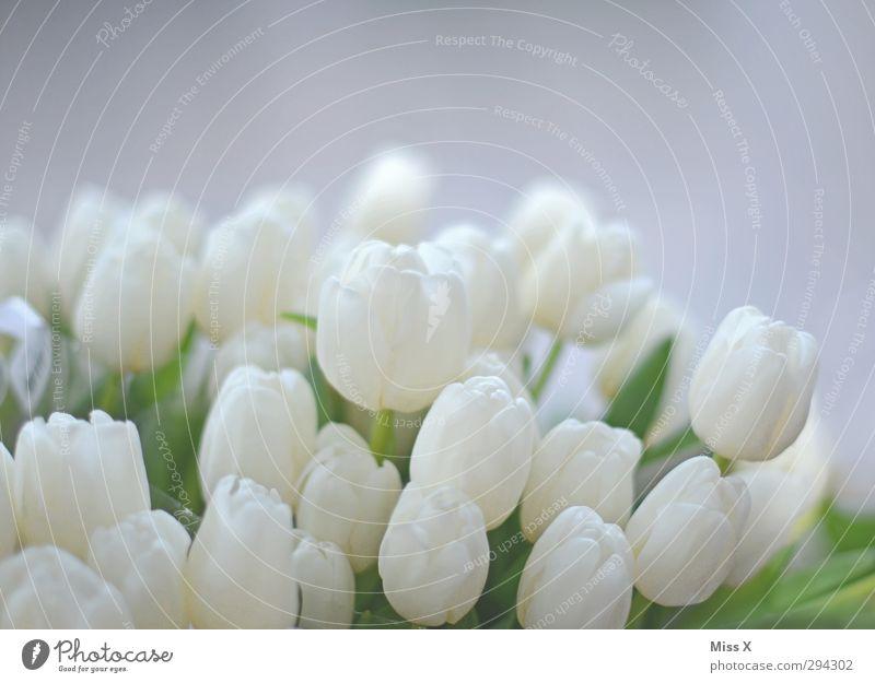 Weicher Frühling Blume Tulpe Blatt Blüte Blühend Duft weiß Tulpenblüte Blumenhändler Blumenstrauß Hochzeit sanft Farbfoto Nahaufnahme Menschenleer