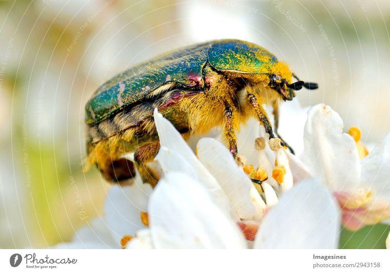 """Rosen-Käfer Cetonia-aurata in der Blüte von einer Orangenblume Natur Sträucher Garten Tier 1 Klima Umwelt """"kriechen krabbeln kreatur entomologie fauna fühler"""