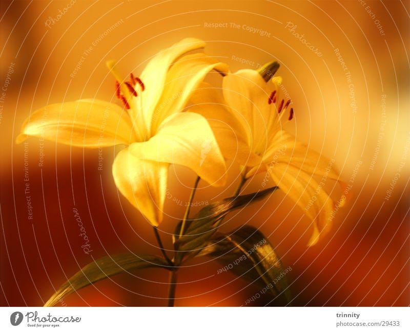 Lilien Pflanze Blume Stimmung weich Natur schön Makroaufnahme sanft Blumenschmuck Dekoration & Verzierung