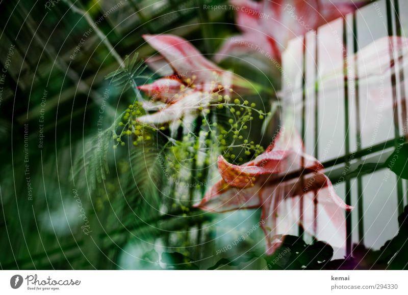 Wachsen unterm Dach Pflanze Blume Blatt Blüte exotisch Garten Gewächshaus Blühend Wachstum grün rosa Farbfoto Gedeckte Farben Innenaufnahme Experiment