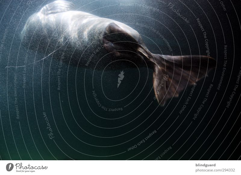 Zurück blau Wasser Tier schwarz Leben grau Schwimmen & Baden elegant nass ästhetisch Jagd türkis Aquarium Robben Seehund