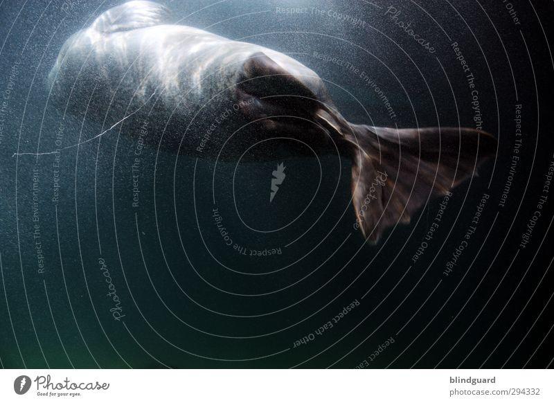 Zurück Tier Wasser Sonnenlicht Aquarium Seehund Robben 1 Jagd Schwimmen & Baden ästhetisch nass blau grau schwarz türkis Leben elegant Farbfoto