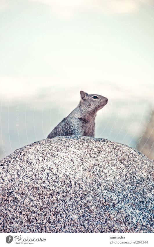 Nager Natur Tier Umwelt Berge u. Gebirge Freiheit Stein natürlich Felsen wild Wildtier warten wandern frei Geschwindigkeit Alpen Fell