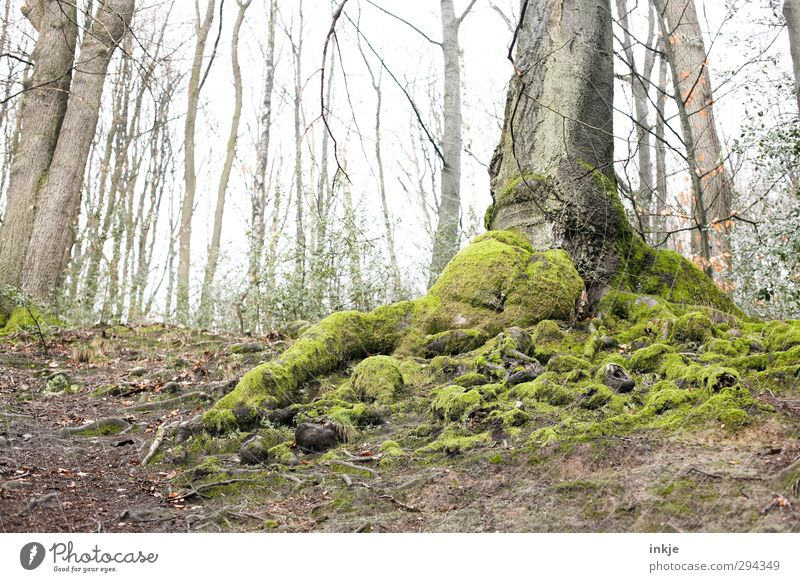 Fest verwurzelt Natur alt grün Baum Landschaft Umwelt Herbst Stimmung Wetter Wachstum Nebel Erde groß Urelemente Moos dick