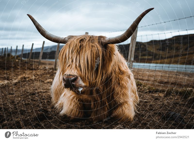 Schottisches Hochlandrind Ferien & Urlaub & Reisen Camping Natur Landschaft Tier Wolken Frühling schlechtes Wetter Nutztier Kuh 1 liegen außergewöhnlich dreckig