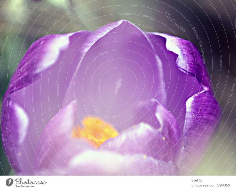 Frühlingsgefühle Natur Blume Blüte Beginn Hoffnung Zeichen Romantik Lebensfreude Blühend violett zart Blütenblatt fein Optimismus Valentinstag