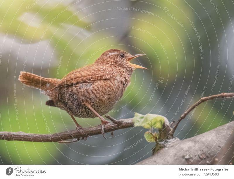 Singender Zaunkönig Natur Tier Sonnenlicht Schönes Wetter Baum Blatt Zweige u. Äste Wildtier Vogel Tiergesicht Flügel Krallen Metallfeder gefiedert Schnabel