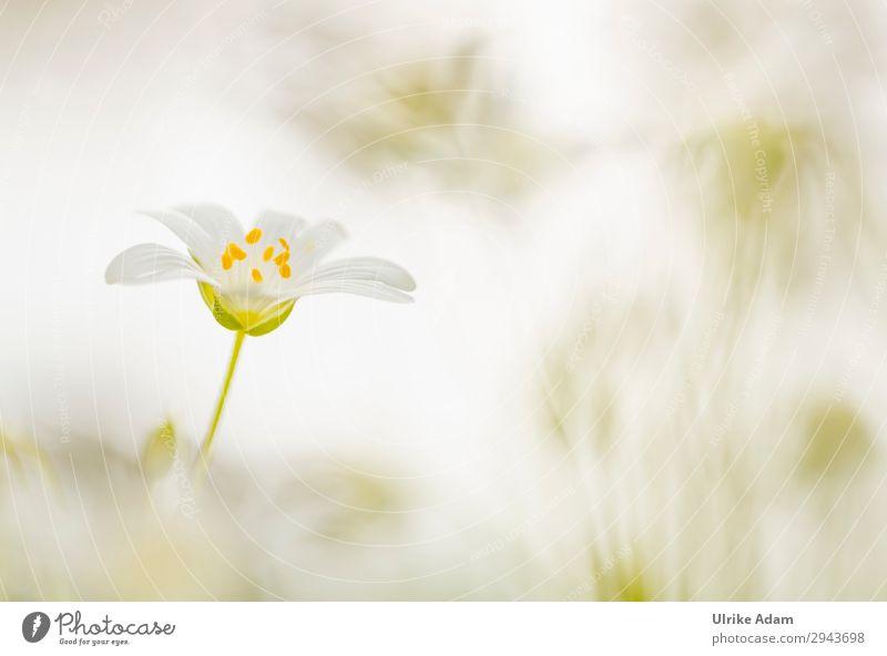 Ganz in Weiß Natur Pflanze weiß Blume Erholung ruhig Blüte Frühling Wiese Design Zufriedenheit träumen Feld Geburtstag Romantik Blühend