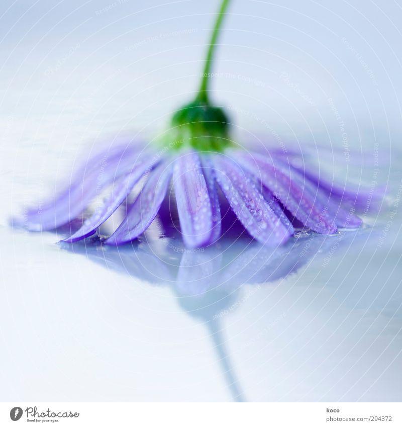 kopfüber Natur blau grün Wasser weiß Sommer Pflanze Blume Frühling Blüte Regen Nebel Glas frisch nass Wassertropfen