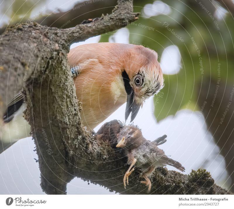 Eichelhäher frisst erbeutetes Küken Natur Tier Sonnenlicht Schönes Wetter Baum Blatt Zweige u. Äste Wildtier Vogel Tiergesicht Flügel Krallen Schnabel Auge