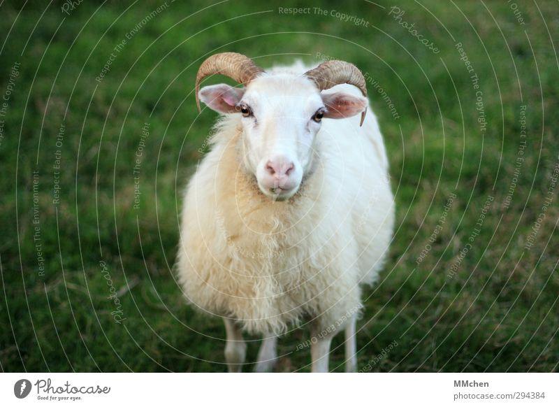 Ich möchte bleiben, bitte grün weiß Tier Wiese stehen beobachten Landwirtschaft Fell Vertrauen Schaf Horn Forstwirtschaft Tierzucht Nutztier Überleben Tierliebe