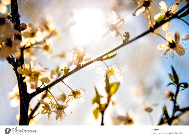 Mirabellenblüte im Gegenlicht Natur Pflanze Baum Nutzpflanze Wildpflanze springen Blüte weiß wild Frühling hell Sonne Obstbaum romantisch strahlend sonnig nah