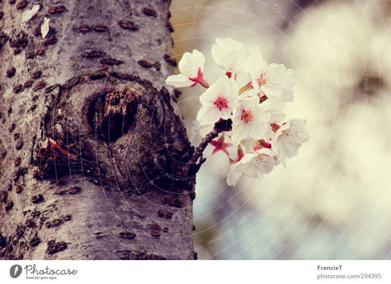 Mini-Kirschbaum Natur Pflanze Frühling Schönes Wetter Baum Blüte Garten Park Blühend Duft Wachstum frisch natürlich neu schön braun rosa weiß Fröhlichkeit