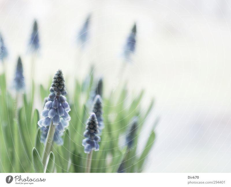 Bitte! Endlich! Frühling! Natur Pflanze Blume Blatt Blüte Grünpflanze Topfpflanze Hyazinthe Traubenhyazinthe Garten Fensterbrett Blühend Wachstum Duft frisch