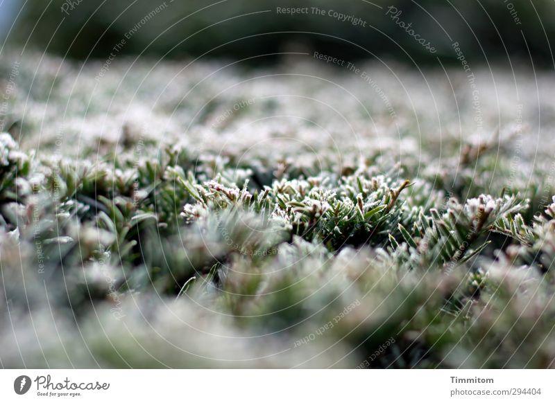 Frostspitzen. Natur Pflanze Winter Eis Hecke einfach kalt natürlich grün weiß Gefühle gefroren Raureif Farbfoto Gedeckte Farben Außenaufnahme Nahaufnahme