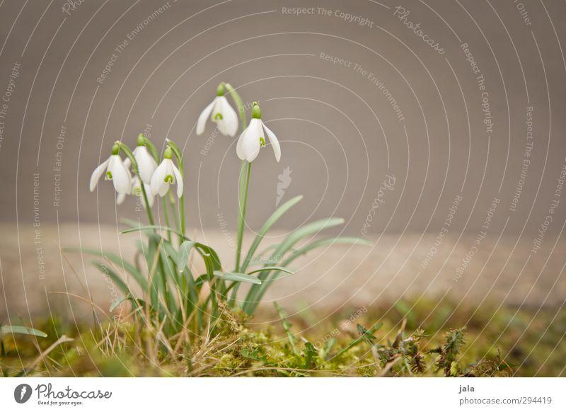 schneeglöckle Umwelt Natur Pflanze Frühling Blume Moos Blatt Blüte Schneeglöckchen ästhetisch natürlich Frühlingsgefühle Farbfoto Außenaufnahme Menschenleer