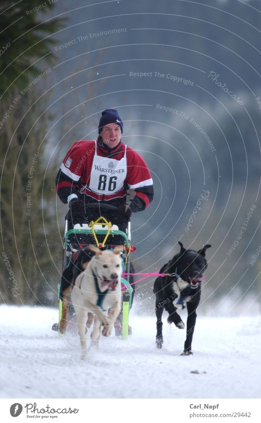 trailblazer Mensch Winter Tier Sport Schnee Hund Wintersport Schlitten Husky Schlittenhund