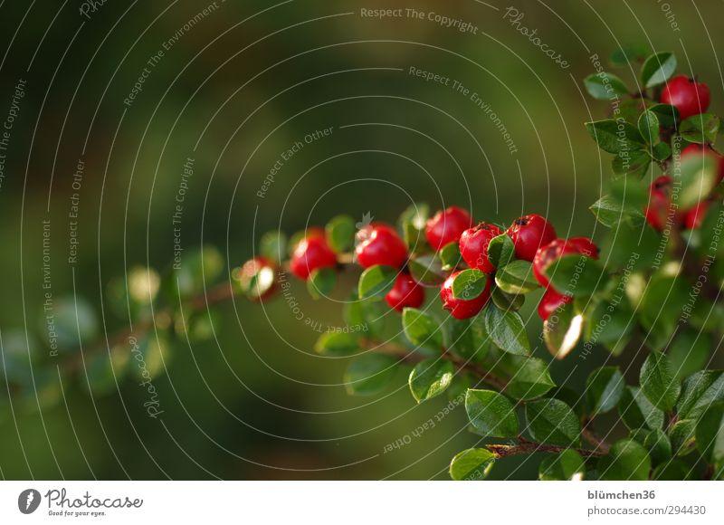 Beeren - Blätter - beleuchtet Natur Pflanze Herbst Sträucher Blatt Garten Park glänzend leuchten einfach klein natürlich grün rot Ast Zweig Jahreszeiten