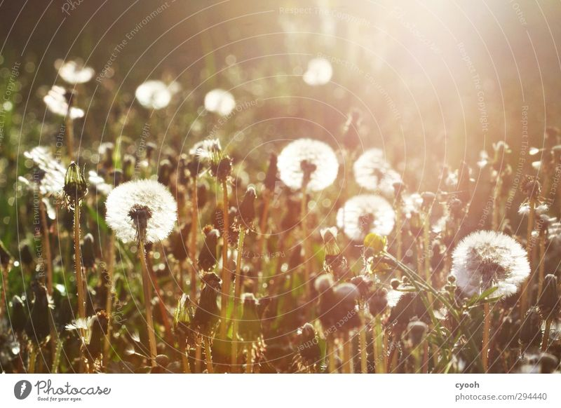 Pusteblumenwiese Natur Pflanze Sonnenaufgang Sonnenuntergang Sonnenlicht Frühling Sommer Herbst Schönes Wetter Wärme Dürre Gras Blüte Garten Park Wiese Blühend