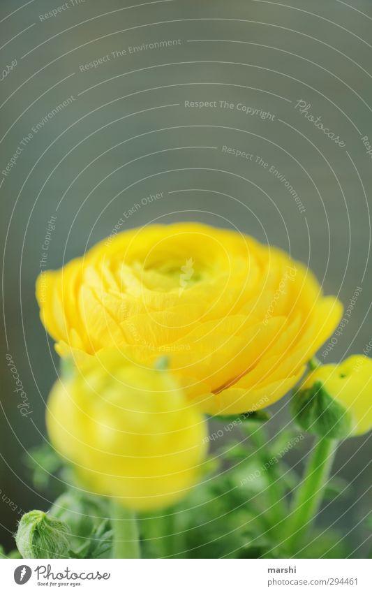 ranunkelkabunkel Natur Pflanze Blume gelb Ranunkel Trollblume Blühend Frühling Blütenblatt Duft Farbfoto Nahaufnahme Detailaufnahme Tag