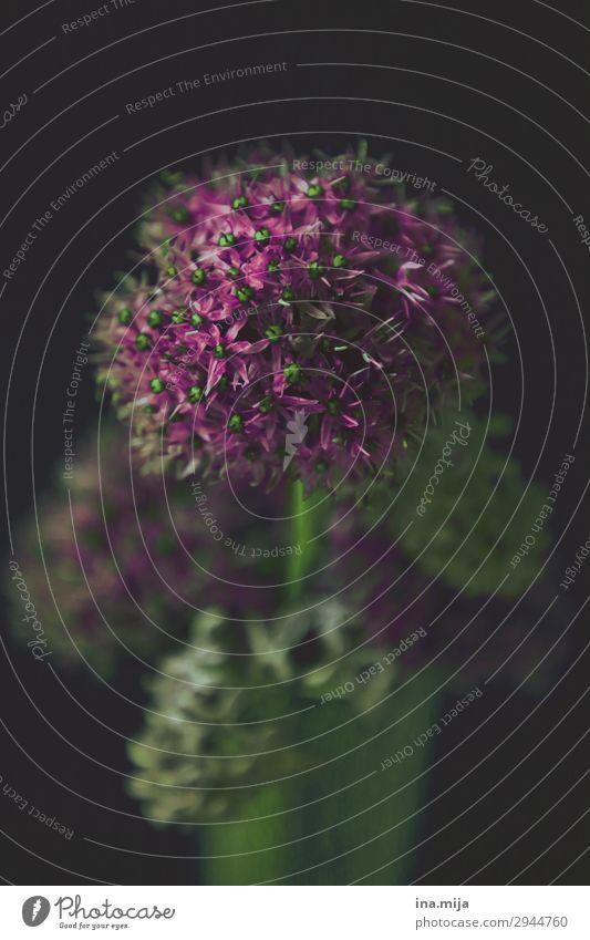 Zierlauch Frühlingsblume Gedeckte Farben zierlauch Zierpflanze Blumenstrauß Blumenhändler Dekoration & Verzierung Valentinstag Muttertag schön Nostalgie Kitsch