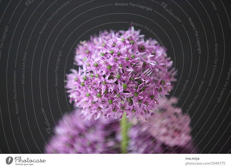 Zierlauch Umwelt Natur Pflanze violett schwarz rund Blume Blüte Farbfoto Gedeckte Farben Innenaufnahme Studioaufnahme Nahaufnahme Menschenleer