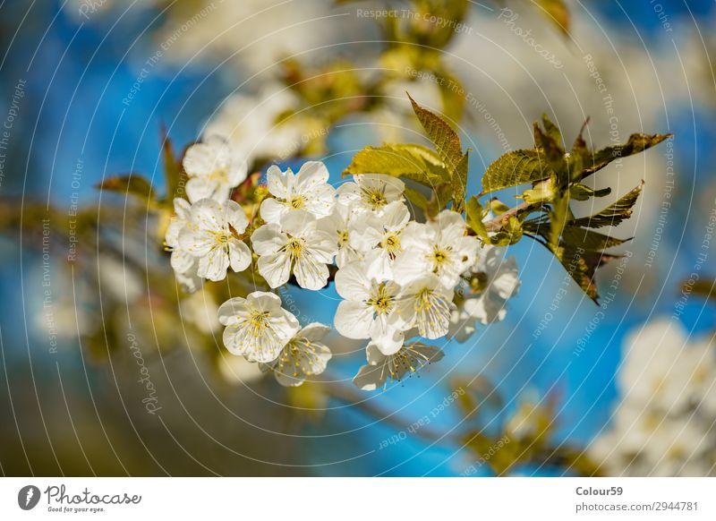Weisse Kirschblüten Natur Pflanze Duft Erholung weich blau weiß Leben Lebensfreude Hintergrundbild Blüte Blütenknospe Frühling Blütenzweig Jahreszeit schön Baum