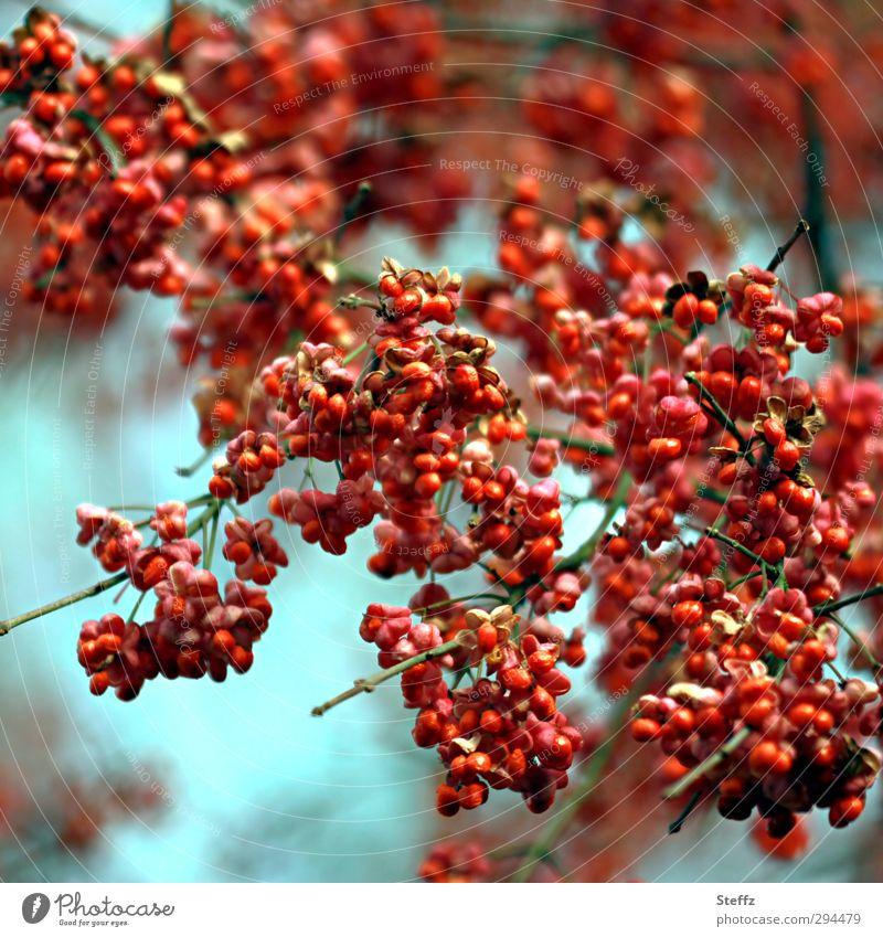 Vogelbeeren satt Pfaffenhütchen Beeren rote Beeren Rotkehlchenbrot Beerenstrauch Wildpflanze Sträucher Zweig Vogelfutter natürlich viele wild mehrere